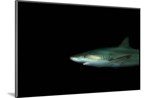 A Blacknose Shark, Carcharhinus Acronotus, at the Dallas World Aquarium-Joel Sartore-Mounted Photographic Print