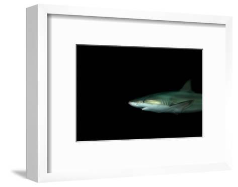 A Blacknose Shark, Carcharhinus Acronotus, at the Dallas World Aquarium-Joel Sartore-Framed Art Print