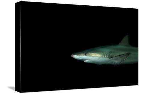 A Blacknose Shark, Carcharhinus Acronotus, at the Dallas World Aquarium-Joel Sartore-Stretched Canvas Print