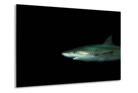 A Blacknose Shark, Carcharhinus Acronotus, at the Dallas World Aquarium-Joel Sartore-Metal Print