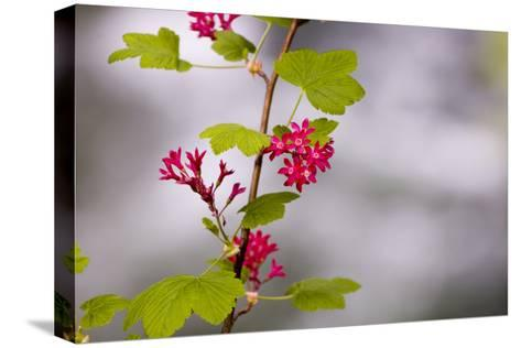 A Red-Flowering Currant, Ribes Sanguineum-Paul Colangelo-Stretched Canvas Print