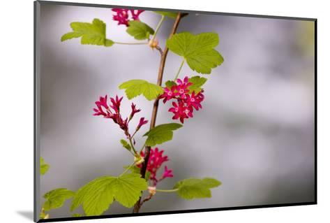 A Red-Flowering Currant, Ribes Sanguineum-Paul Colangelo-Mounted Photographic Print