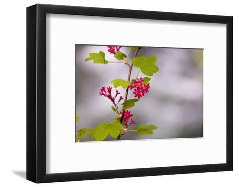 A Red-Flowering Currant, Ribes Sanguineum-Paul Colangelo-Framed Art Print