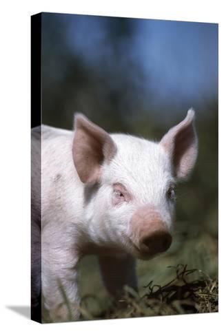 A Piglet Enjoying Sun and Fresh Air at an Organic Farm-Macduff Everton-Stretched Canvas Print
