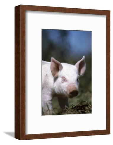 A Piglet Enjoying Sun and Fresh Air at an Organic Farm-Macduff Everton-Framed Art Print