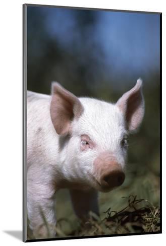 A Piglet Enjoying Sun and Fresh Air at an Organic Farm-Macduff Everton-Mounted Photographic Print