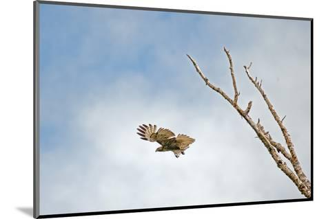 A Red-Tailed Hawk, Buteo Jamaicensis, Flies Above Montana's Gallatin Valley Near Bozeman-Gordon Wiltsie-Mounted Photographic Print
