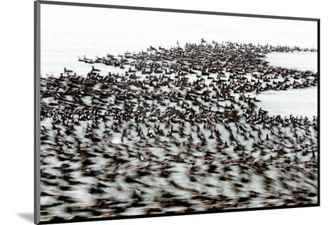 A Flock of Surf Scoter Ducks, Melanitta Perspicillata, on the Water-Paul Colangelo-Mounted Photographic Print