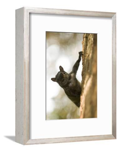 An Eastern Gray Squirrel, Sciurus Carolinensis, on the Side of a Tree-Paul Colangelo-Framed Art Print