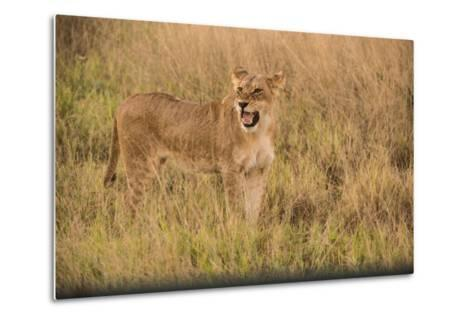 A Lioness in Tall Grasses Snarling or Displaying Flehmen Behavior-Bob Smith-Metal Print