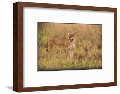 A Lioness in Tall Grasses Snarling or Displaying Flehmen Behavior-Bob Smith-Framed Art Print
