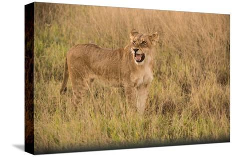 A Lioness in Tall Grasses Snarling or Displaying Flehmen Behavior-Bob Smith-Stretched Canvas Print