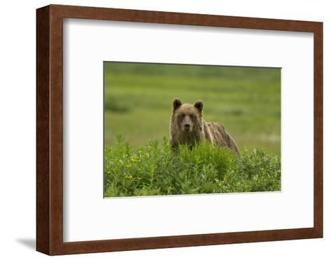 A Grizzly Bear, Ursus Arctos, Stands in the Area of the Sacred Headwaters-Paul Colangelo-Framed Art Print