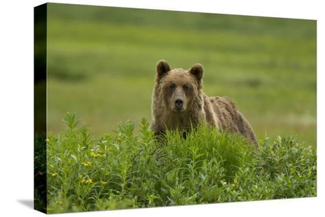 A Grizzly Bear, Ursus Arctos, Stands in the Area of the Sacred Headwaters-Paul Colangelo-Stretched Canvas Print