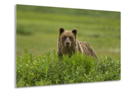 A Grizzly Bear, Ursus Arctos, Stands in the Area of the Sacred Headwaters-Paul Colangelo-Metal Print