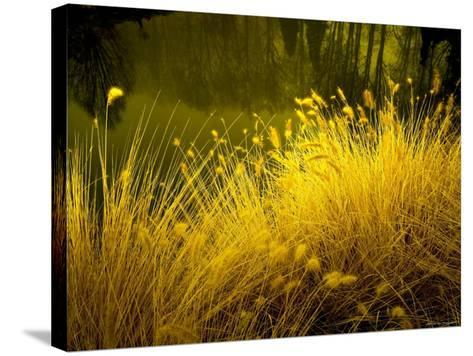 Golden Plants along River with Reflections of Trees-Jan Lakey-Stretched Canvas Print