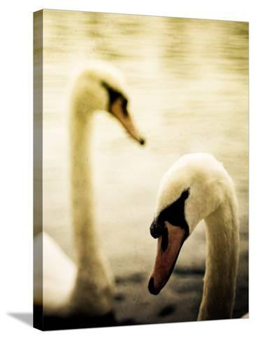 Two Swans Swimming on Lake-Clive Nolan-Stretched Canvas Print
