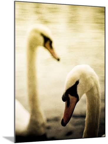 Two Swans Swimming on Lake-Clive Nolan-Mounted Photographic Print