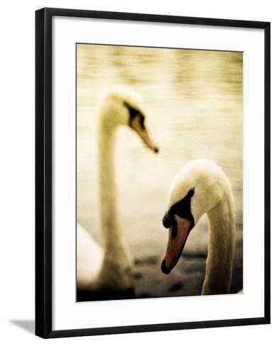 Two Swans Swimming on Lake-Clive Nolan-Framed Art Print