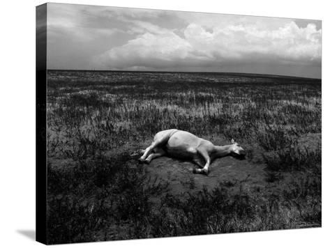 Horse Lying on Side in Field-Krzysztof Rost-Stretched Canvas Print