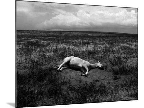 Horse Lying on Side in Field-Krzysztof Rost-Mounted Photographic Print