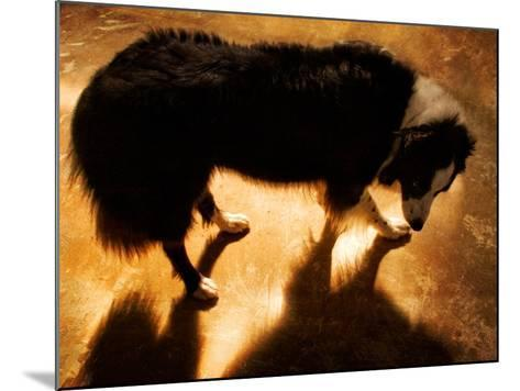 A Collie Dog Standing in the Evening Sunlight-Susan Bein-Mounted Photographic Print