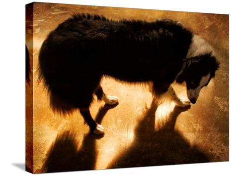 A Collie Dog Standing in the Evening Sunlight-Susan Bein-Stretched Canvas Print