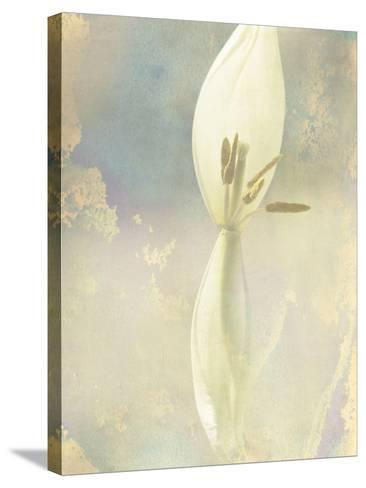 Tulip Fading-Mia Friedrich-Stretched Canvas Print