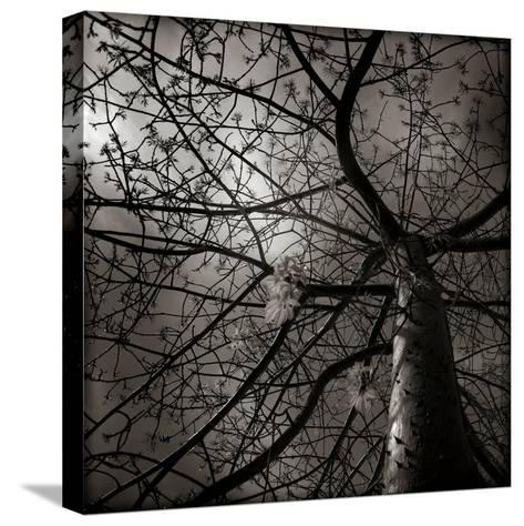 Looking Up at a Tree with Flowers-Luis Beltran-Stretched Canvas Print