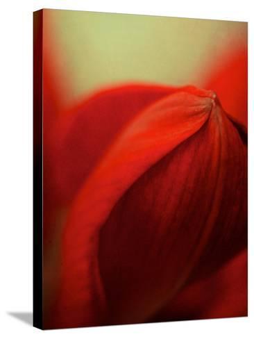 Study of an Amaryllis V-Mia Friedrich-Stretched Canvas Print