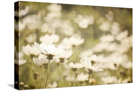 White Daisies--Stretched Canvas Print