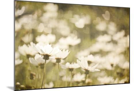 White Daisies--Mounted Photographic Print