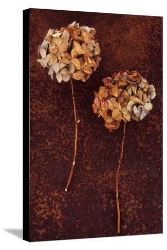Hydrangea-Den Reader-Stretched Canvas Print