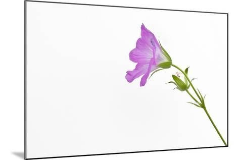 Single Flower on White Background-Will Wilkinson-Mounted Photographic Print