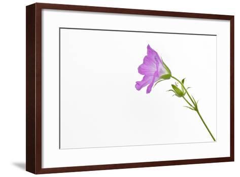 Single Flower on White Background-Will Wilkinson-Framed Art Print