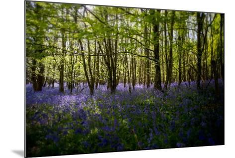 Bluebells in Woods-Rory Garforth-Mounted Photographic Print