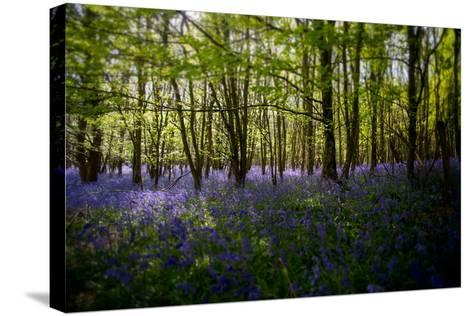 Bluebells in Woods-Rory Garforth-Stretched Canvas Print