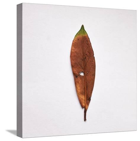 Decaying Leaf-Clive Nolan-Stretched Canvas Print