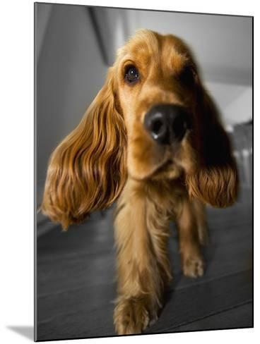 Dog Breeds - Cocker Spaniel - Puppies - English Cocker-Philippe Hugonnard-Mounted Photographic Print