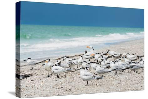 Seagulls on the Beach-Philippe Hugonnard-Stretched Canvas Print