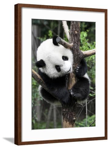 China 10MKm2 Collection - Giant Panda Baby-Philippe Hugonnard-Framed Art Print
