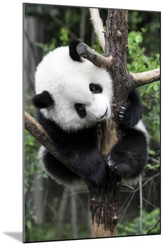 China 10MKm2 Collection - Giant Panda Baby-Philippe Hugonnard-Mounted Photographic Print