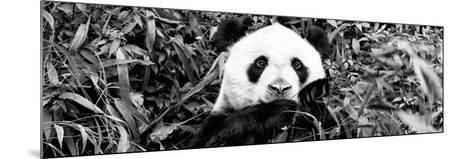 China 10MKm2 Collection - Giant Panda-Philippe Hugonnard-Mounted Photographic Print