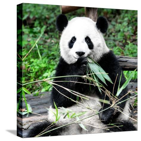 China 10MKm2 Collection - Giant Panda-Philippe Hugonnard-Stretched Canvas Print