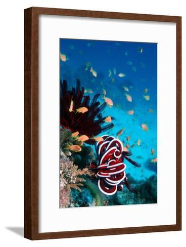 Lyretail Anthias And Featherstar-Georgette Douwma-Framed Art Print