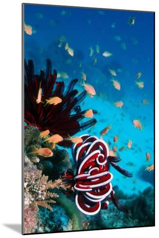 Lyretail Anthias And Featherstar-Georgette Douwma-Mounted Photographic Print