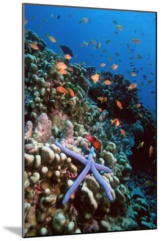 Blue Linckia Starfish-Georgette Douwma-Mounted Photographic Print