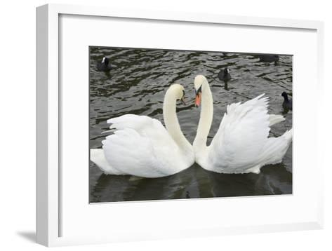 Mute Swans Courting-Georgette Douwma-Framed Art Print
