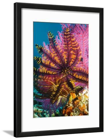 Featherstar on Gorgonian Coral-Georgette Douwma-Framed Art Print