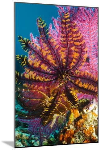 Featherstar on Gorgonian Coral-Georgette Douwma-Mounted Photographic Print